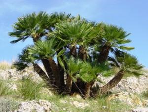 Palma Chamaerops humilis