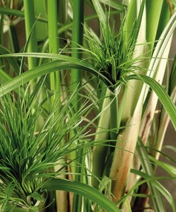 pianta ossigenante - il papiro -