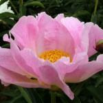 Peonia Pink Princess