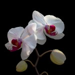 Phalaenopsis - Bianca