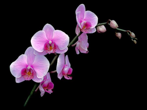 gratis bilder orchide thaimassage
