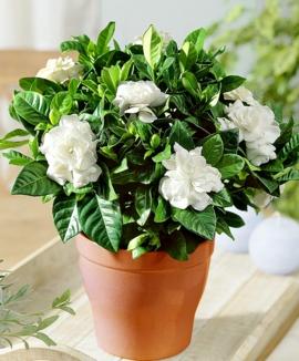 Piantine come centrotavola che ne dite pagina 2 - Gardenia pianta da giardino ...