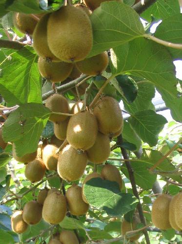 Cosa fare ad agosto nell orto e nel frutteto for Kiwi pianta
