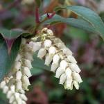 Pieris, una pianta perfetta per le bordature