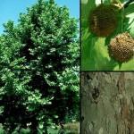 Platanus Occidentalis - corteccia e frutti