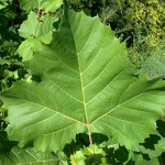 Platanus Occidentalis - foglie