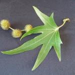 Platanus Orientalis - foglie e frutti