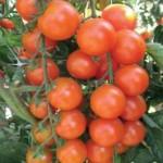 Pomodoro Monchery