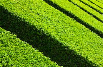 Come potare le siepi sempreverdi giardinaggio piante e fiori for Siepi sempreverdi