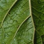 Proboscoidea Louisanica - Insetti intrappolati sulle foglie