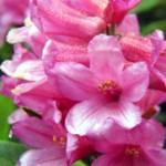 Coltivazione del rododendro