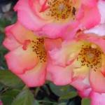 mettere a dimora rose