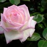 Rosa il fiore di Maggio
