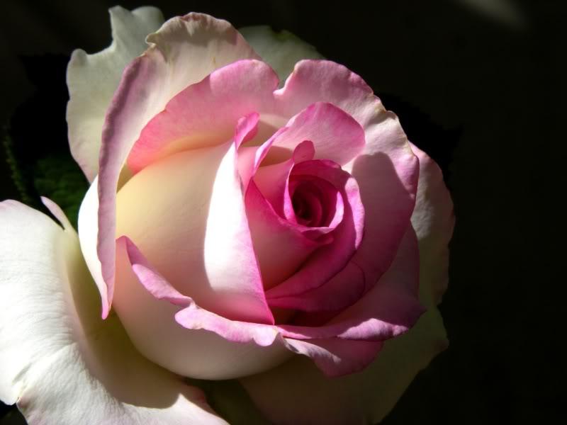 La Rosa, il fiore di Maggio - Giardinaggio Piante e Fiori