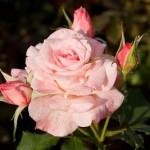 Rosa minima