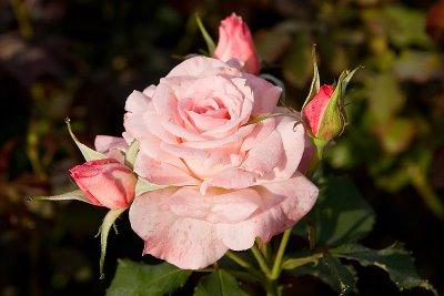 "Rosa chinensis ""Minima"""