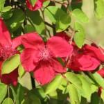 """Rosa chinensis """"Sanguinea"""""""