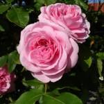Rosa inglese