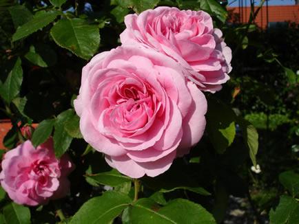 le rose il prato le siepi cosa fare in maggio