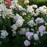 Curare le rose durante i mesi estivi