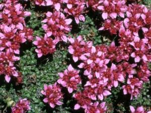 pianta perenne da giardino