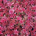 Sedum Coral Carpet
