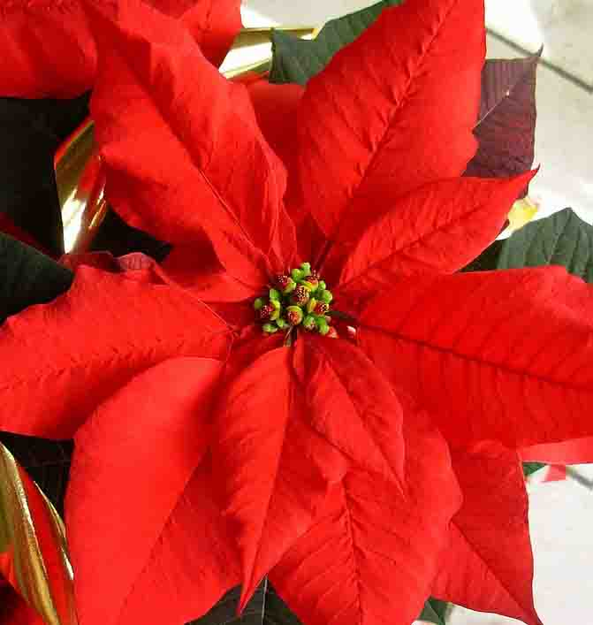 Stella Di Natale Pianta Come Mantenerla.Come Far Durare La Stella Di Natale Tutto L Anno Giardinaggio