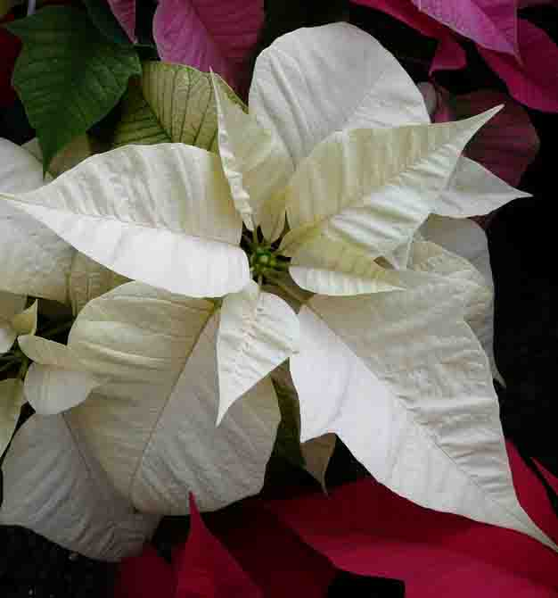 Varietà fiori bianchi