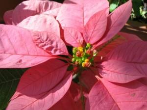 varietà fiori rosa