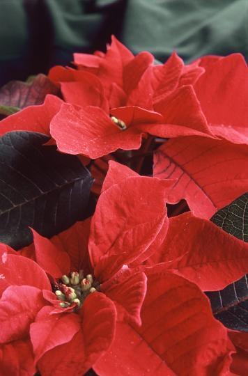 Stella Di Natale Pianta Come Mantenerla.Come Mantenere Le Stelle Di Natale Come Curare E Quanto Bagnare La