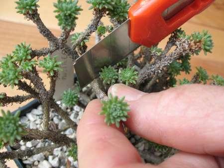 Nell'immagine qualcuno taglia con un taglierino una talea di una pianta grassa