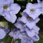 Thunbergia Grandiflora - Fiori