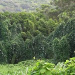 Thunbergia Grandiflora - Infestante