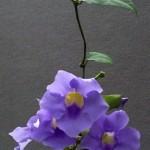 piante rampicanti da vaso