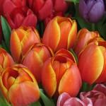 bulbi a fioritura primaverile