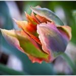 Tulipano viridiflora