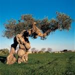 varietà d'olivo