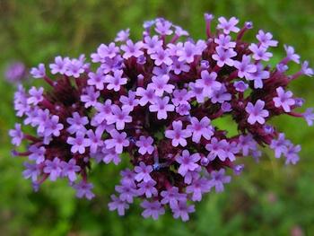 Fiori d agosto attenzione all esposizione delle piante for Fiori di agosto