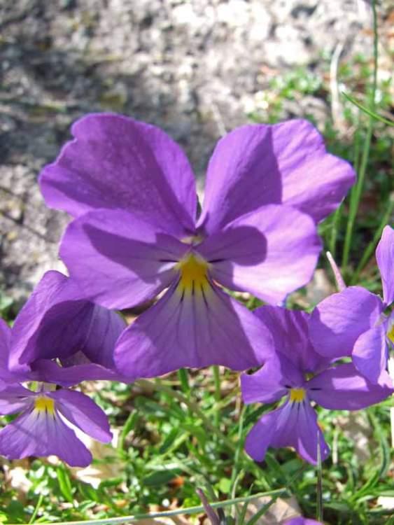 Eccezionale Creare aiuole fiorite e splendidi vasi con le viole - Giardinaggio  WX91