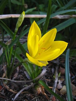 Bulbi Fiori Gialli.Fioritura Autunnale La Sternbergia Lutea Giardinaggio Piante E