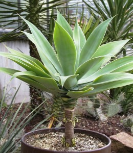 agave pianta