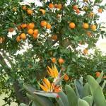 Agrumi da frutto e da ORNAMENTO