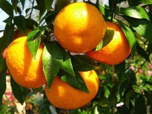 arance ornamentali