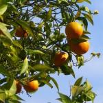 L'arancio dolce si innesta su arancio amaro per renderlo resistente ai marciumi del colletto