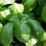 le foglie di basilico sono ricche di sostanze antiossidanti