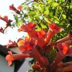 piante rampicanti perenne