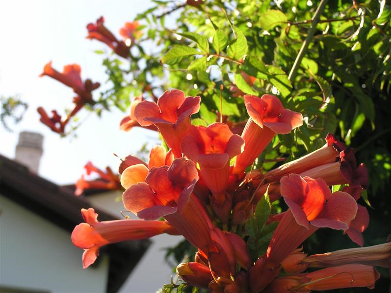 Piante rampicanti perenni e annuali in vaso giardinaggio for Piante da giardino rampicanti