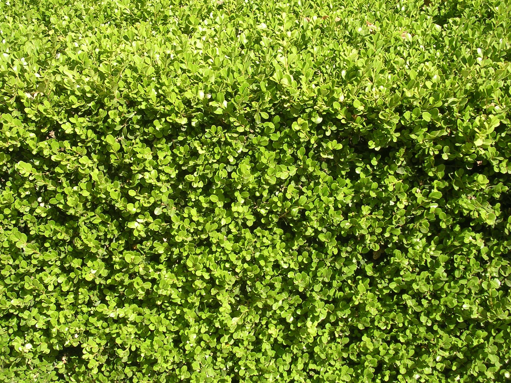 Piante bosso il piccolo giardino di l ode al bosso for Piante da siepe sempreverdi