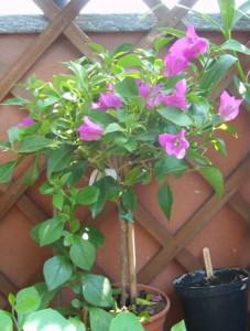 Una pianta rampicante sul balcone giardinaggio piante e for Piante rampicanti in vaso