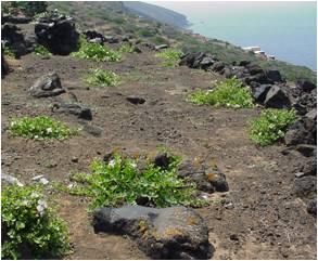 cappero Pantelleria